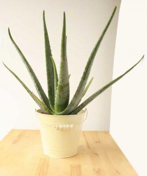 Large Aloe Vera
