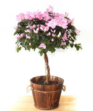 Topiary Azalea