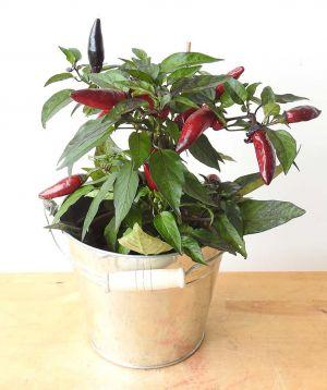 Black Chilli Plant