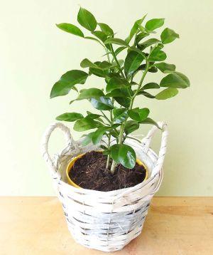 Baby Kaffir Lime