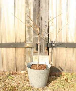 Patio Plum Tree