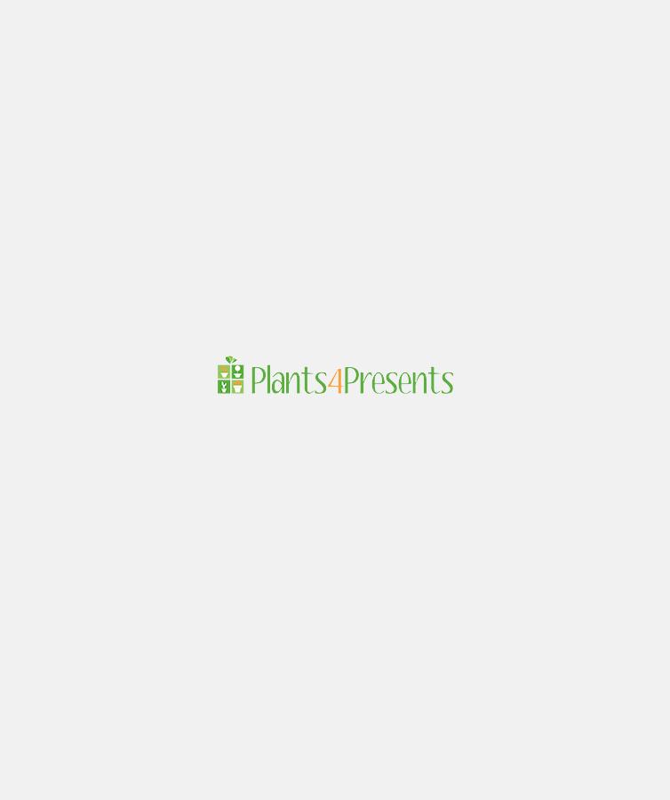 Festive herb plants