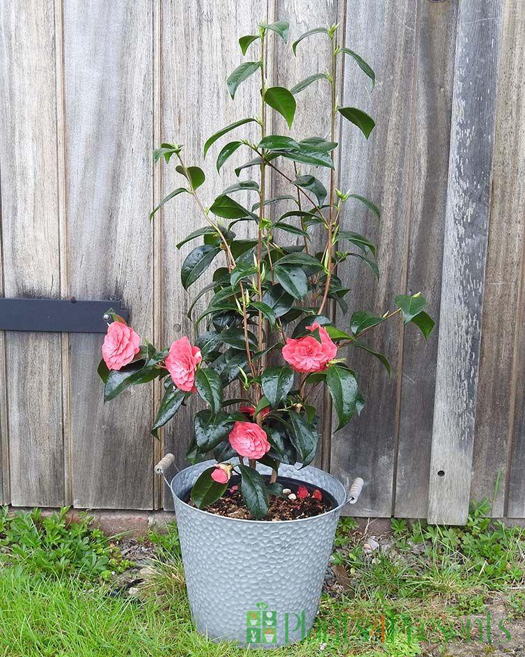 Giant Camellia flowering