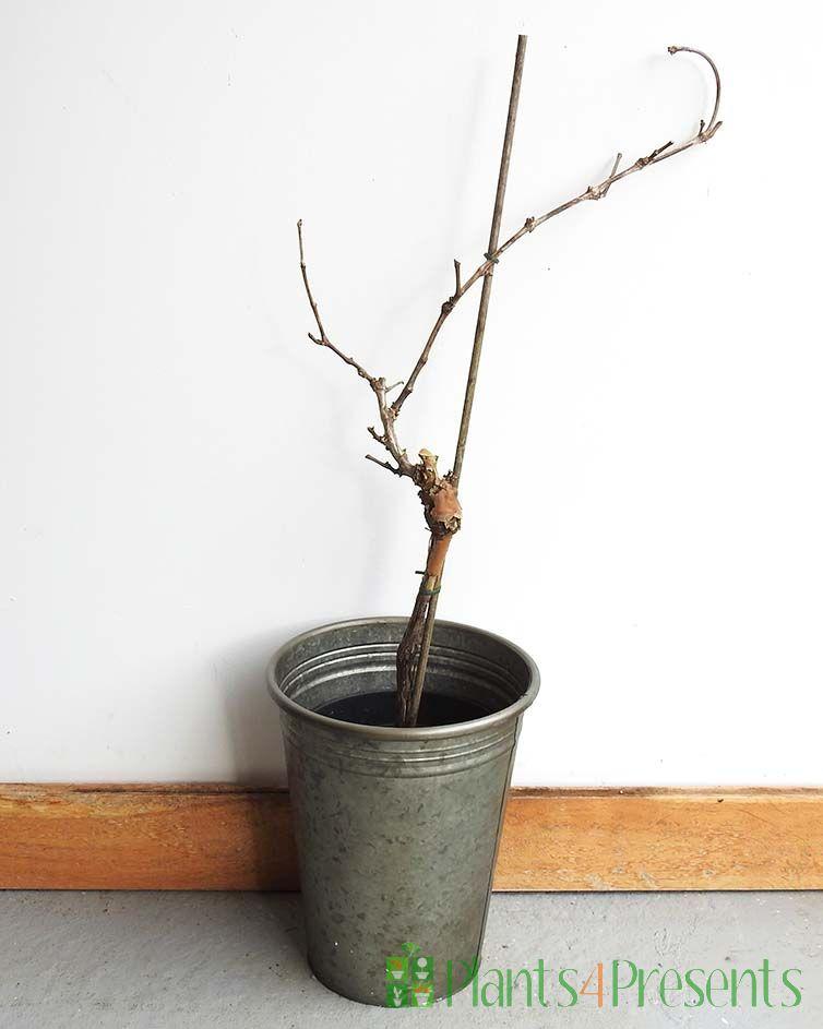 Winter grapevine