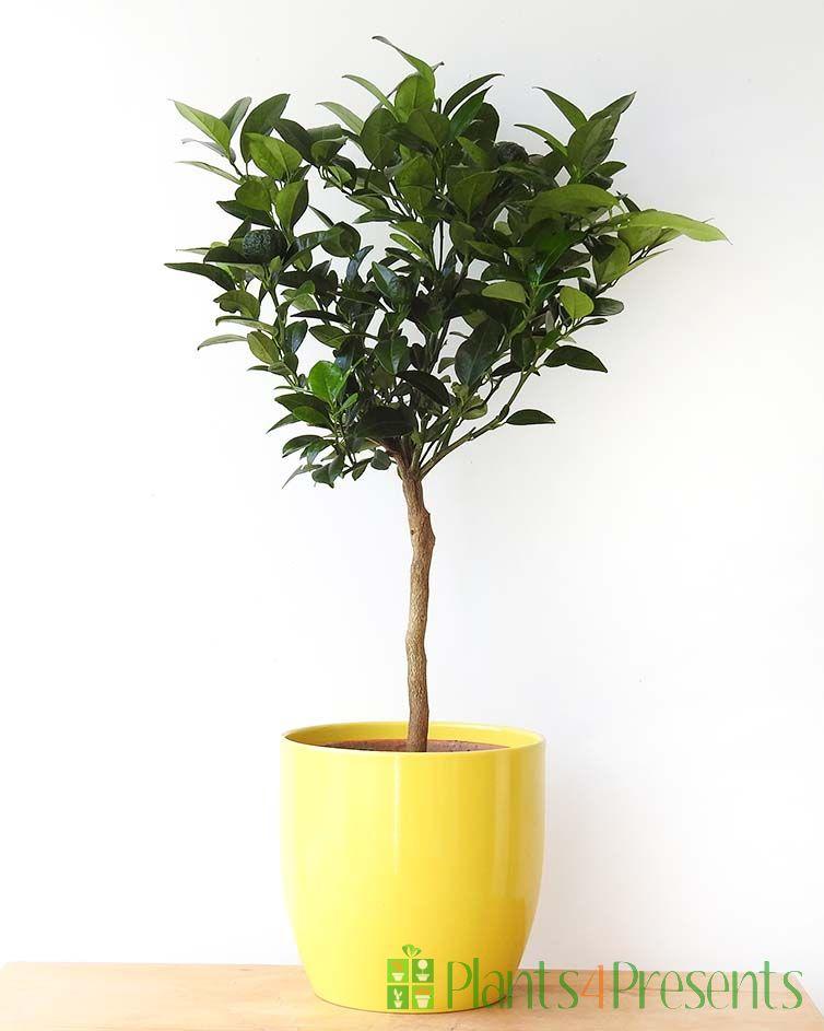 Lemon Pursha Mini Stem