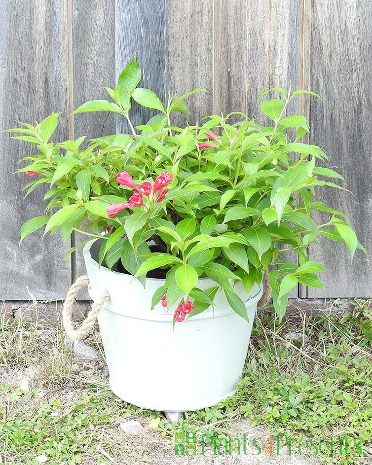 Red Weigela