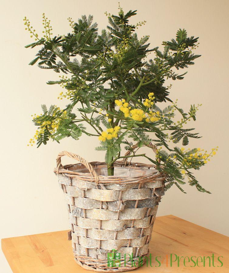 Acacia in Birch basket