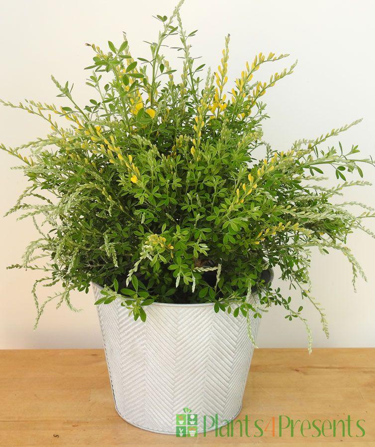 Flowering Broom 2021