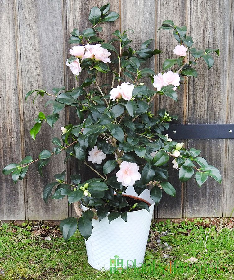 Giant Pink Camellia