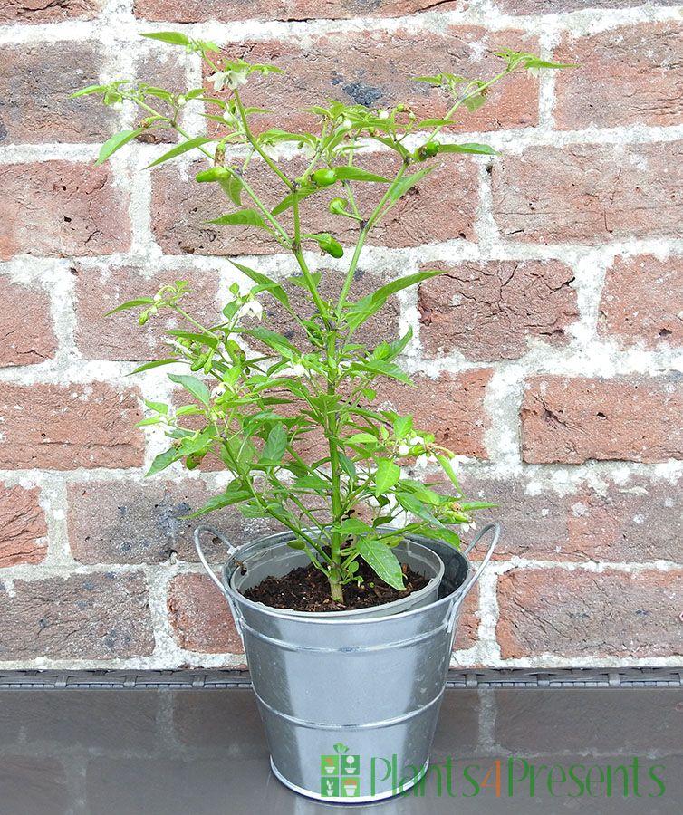 Chilli Plant Apache