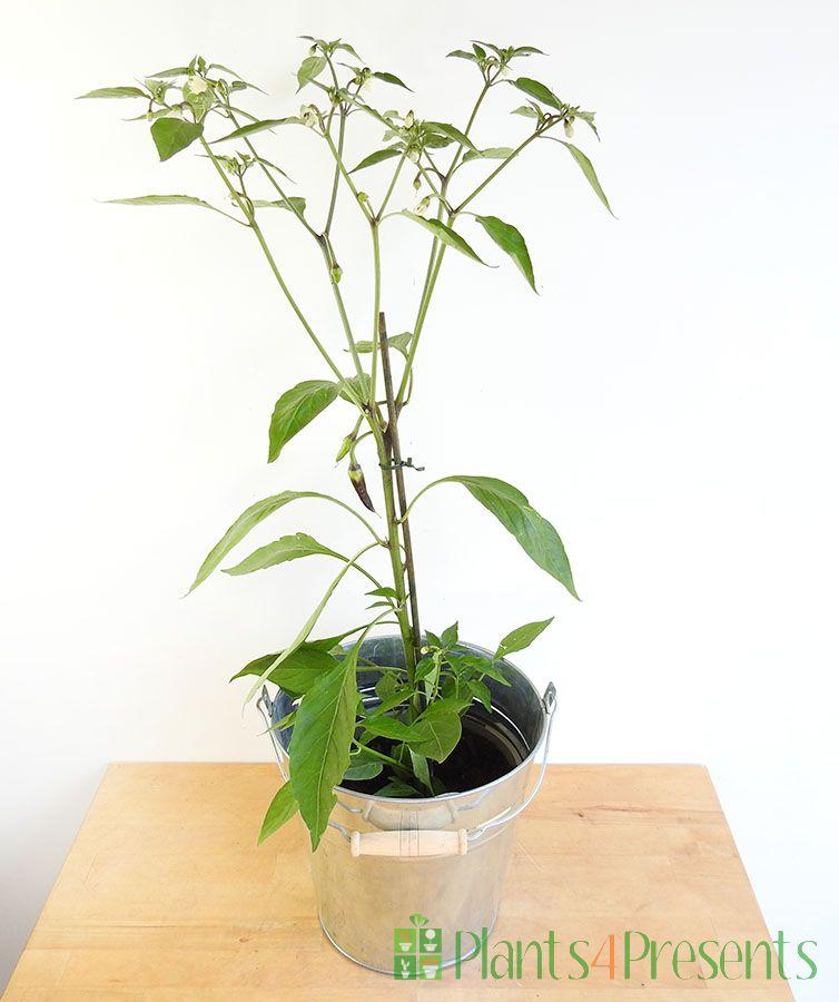Purple Chilli Plant