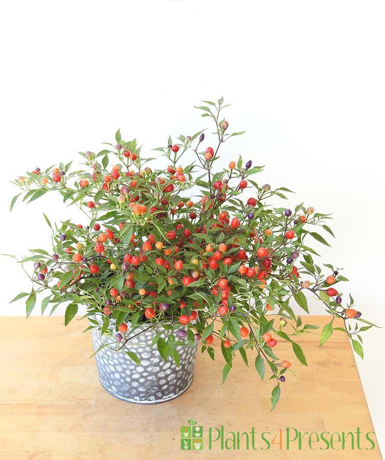 Christmas Tree Chilli