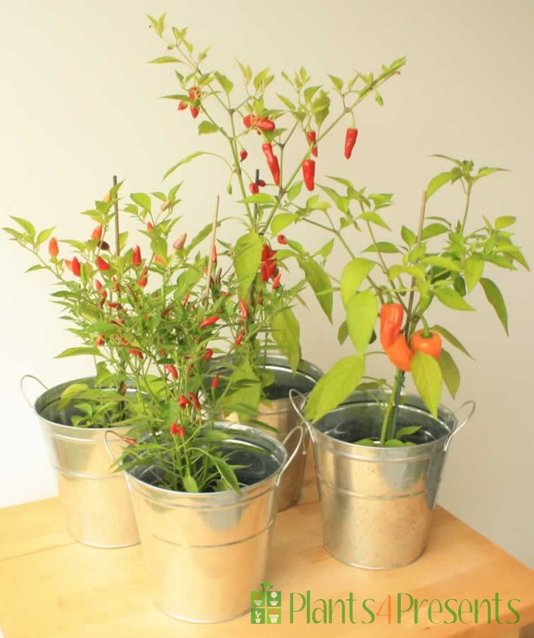 Collection of Four Chilli Plants