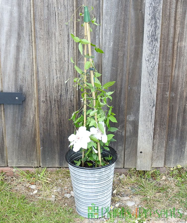 White Clematis 2021