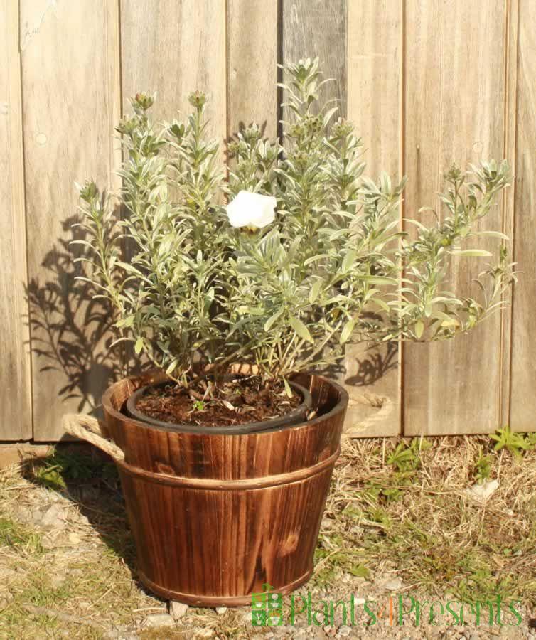 Silverbush
