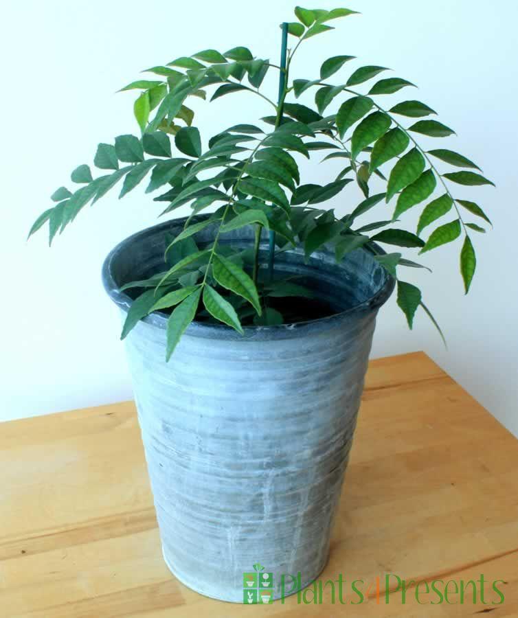 Large Curry Leaf Plant