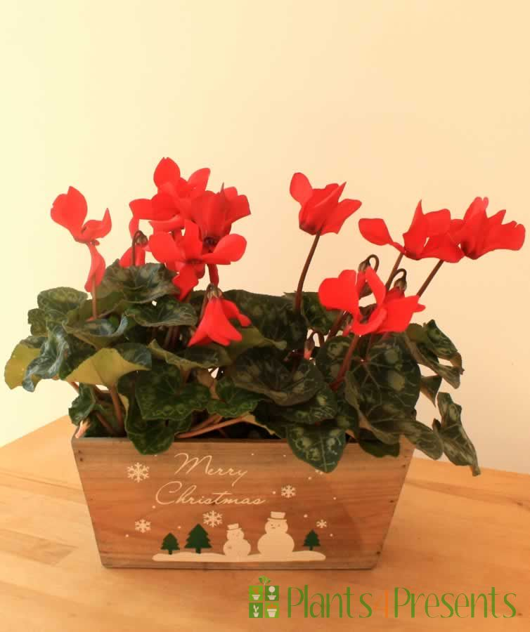 cyclamen in seagrass baskets