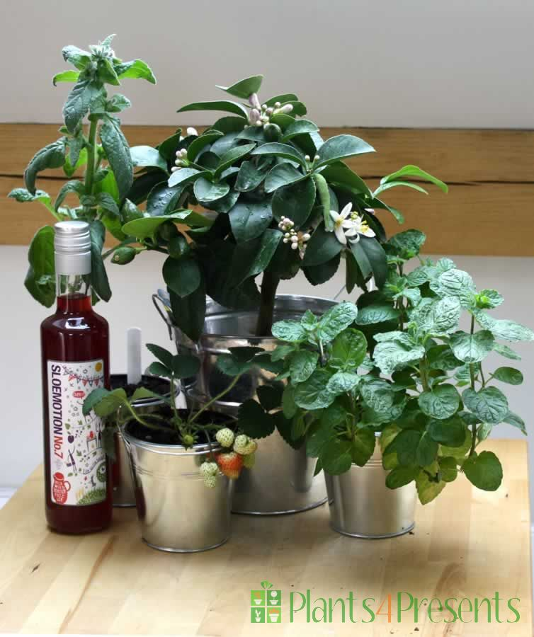 Grow your own pimms