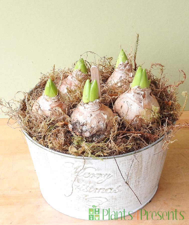 Christmas Hyacinths
