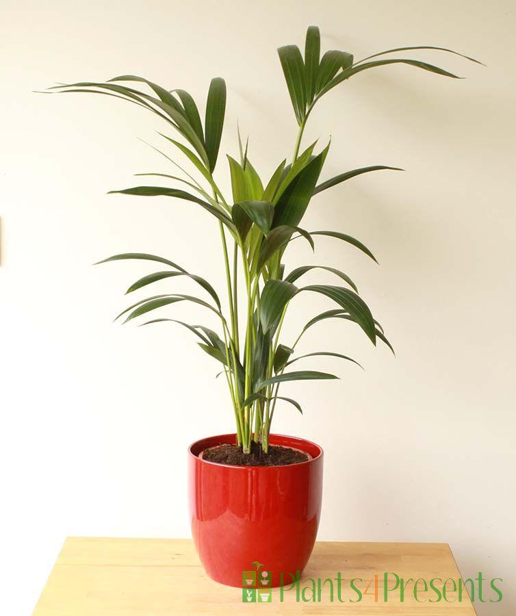 Kentia palm red pot