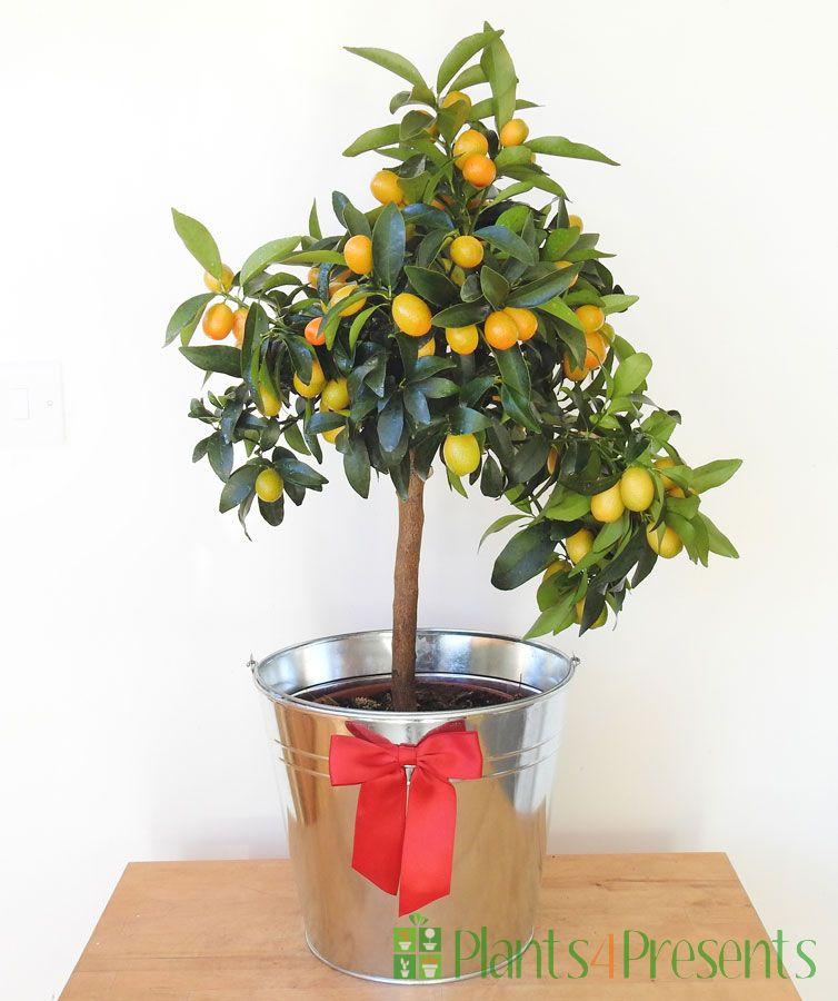 Large Kumquat 2020