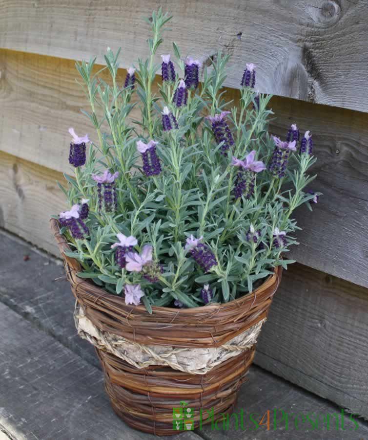 French Lavender Basket