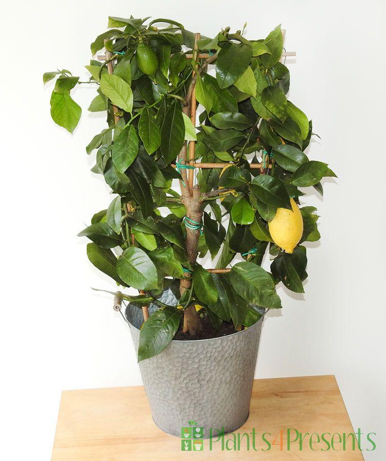 Large Lemon Trellis