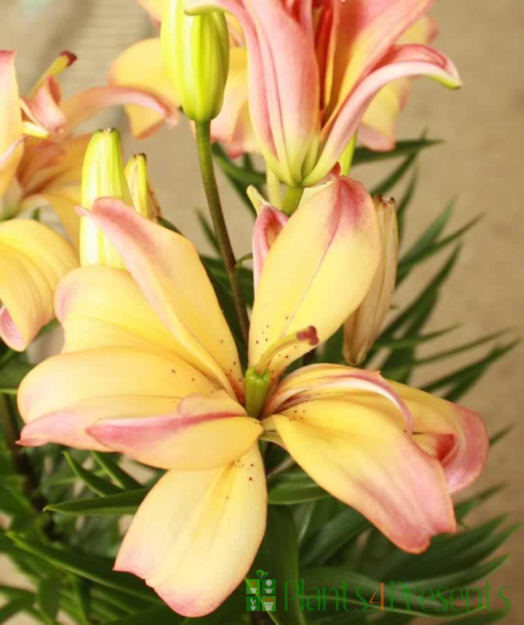 Pink Joy Lily