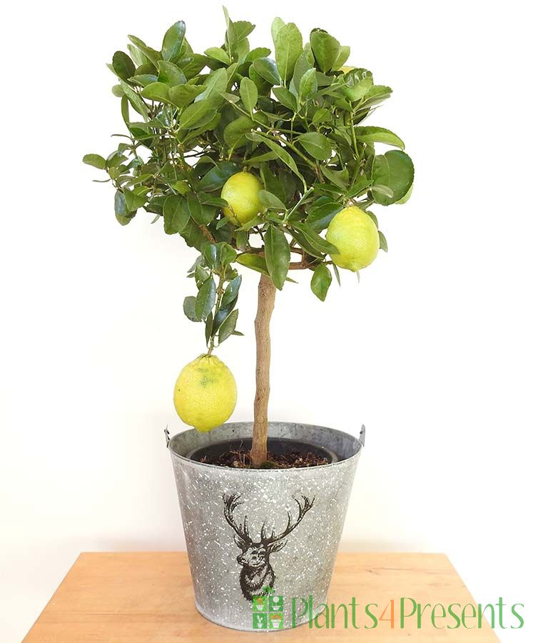 Large Lime tree with ripening yellow fruits