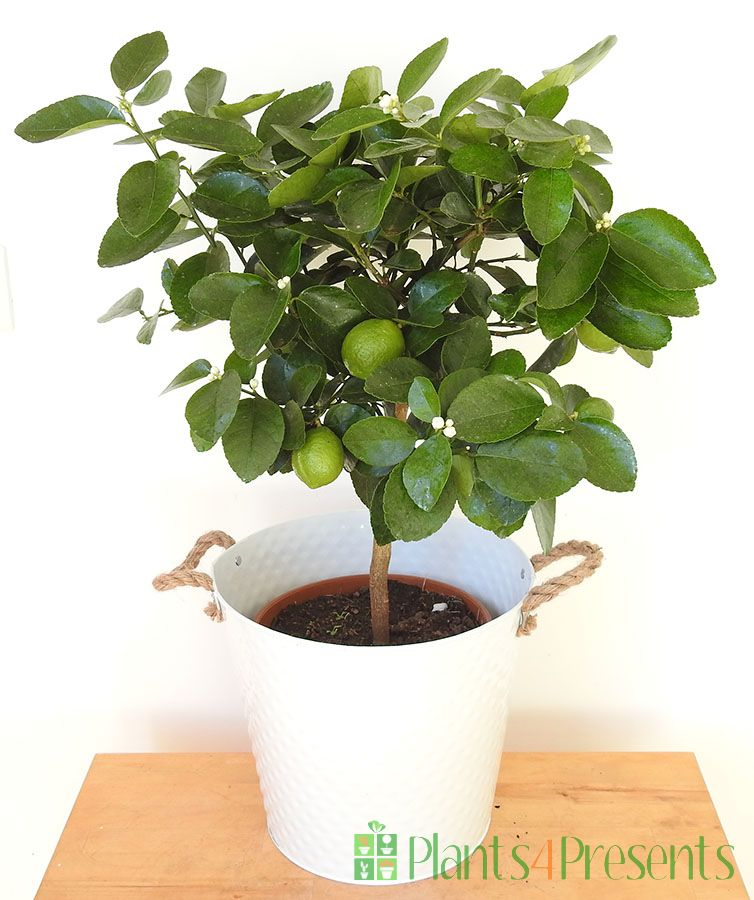 Large Lime Tree