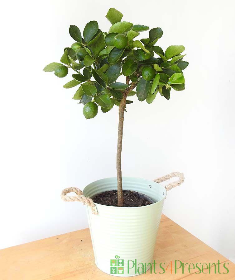 Medium Lime Tree