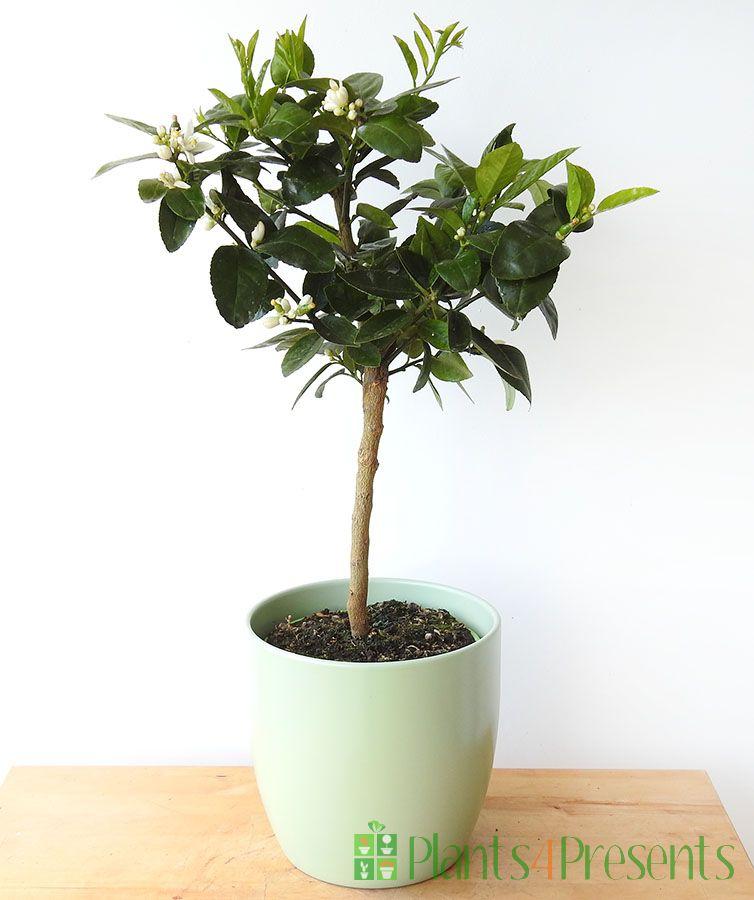 Medium Lime