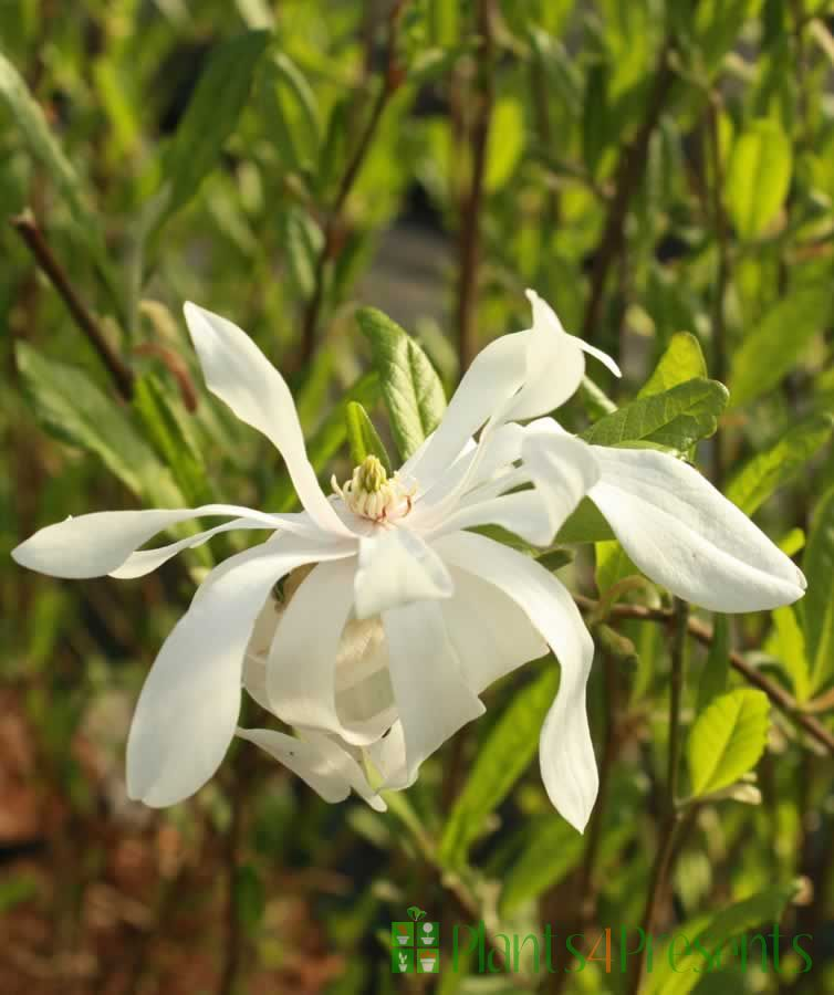 Magnolia Stellata Flower