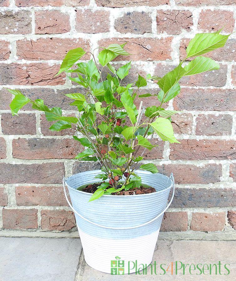 Dwarf Mulberry bush