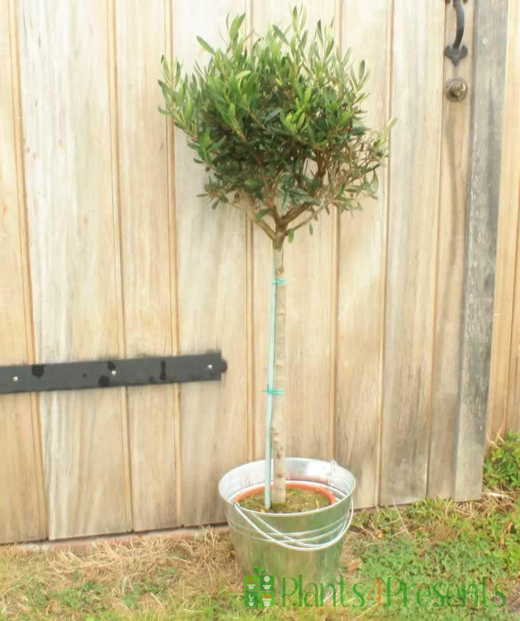 Sculpted olive tree in stripey basket