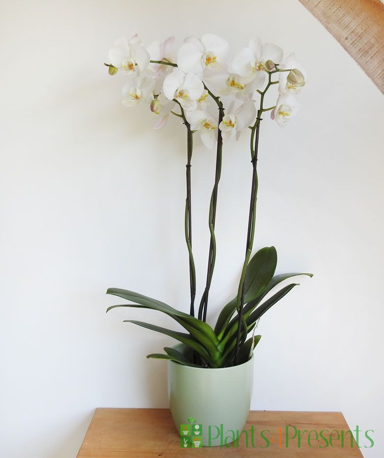 Giant Orchid 2020