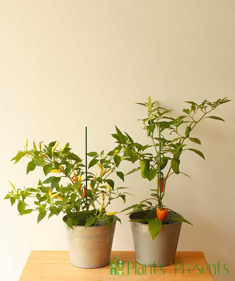 Pair of Chilli Plants