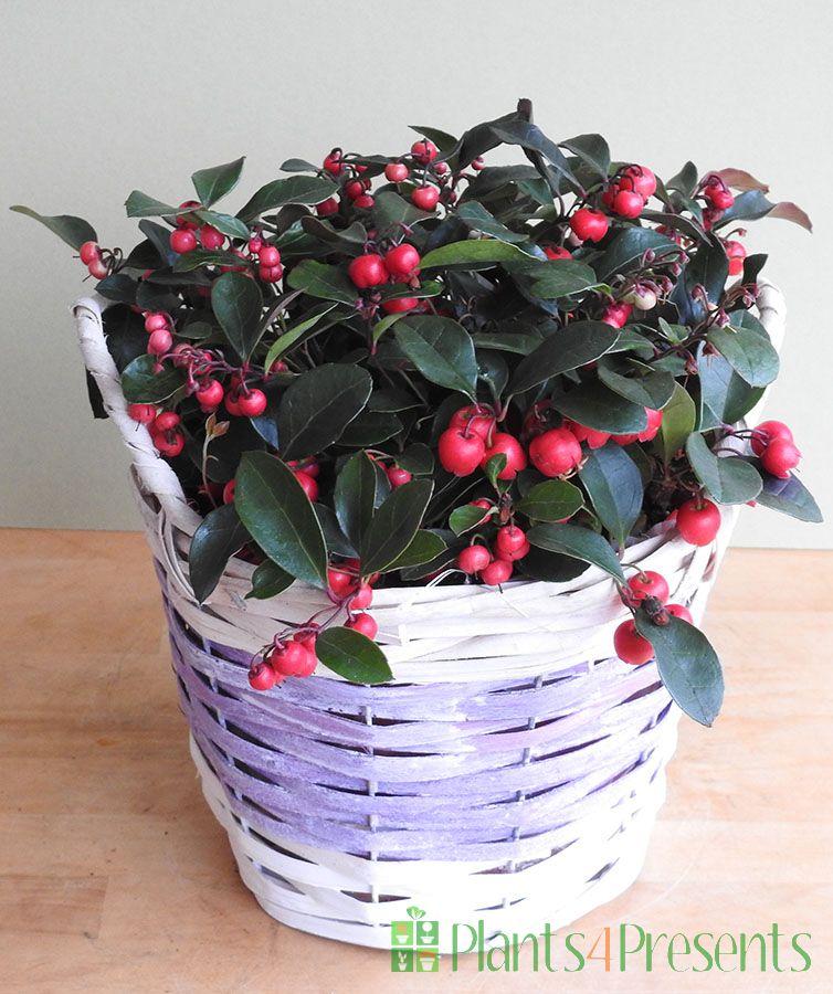 Partridge Berry in purple basket