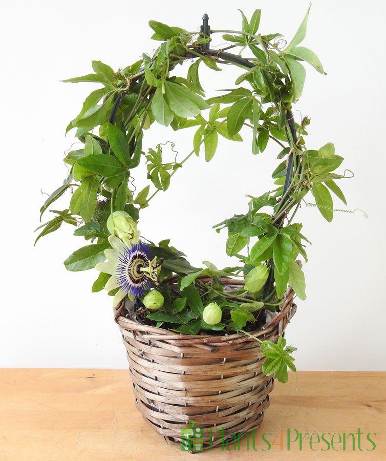 Passionflower hoop 2021
