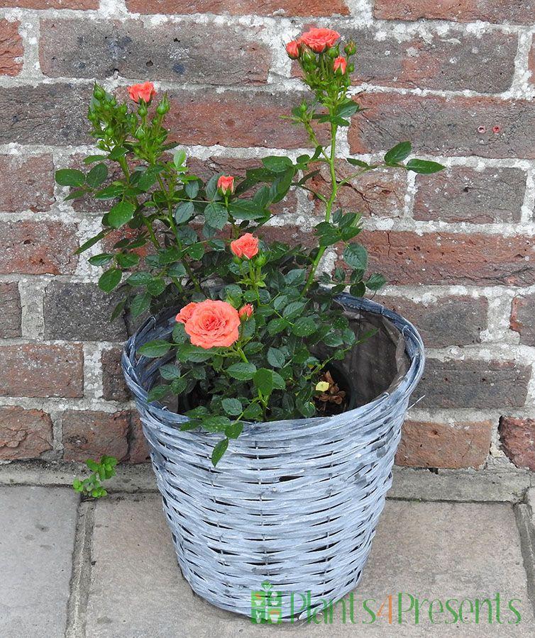 Patio Rose Happy Birthday
