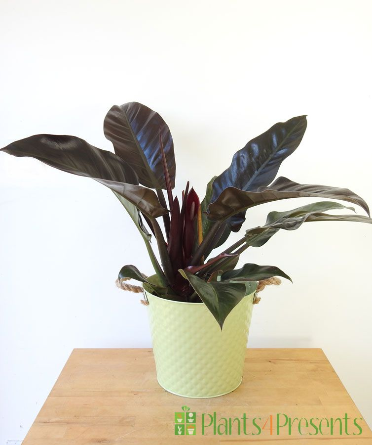 Philodendron 2021