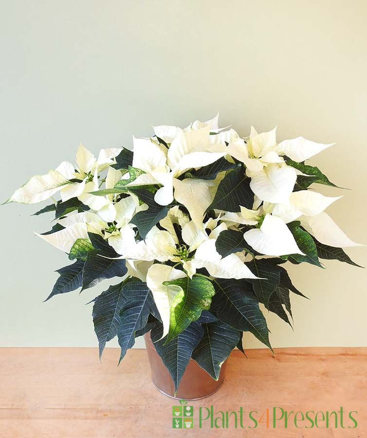 Unusual Poinsettia - White