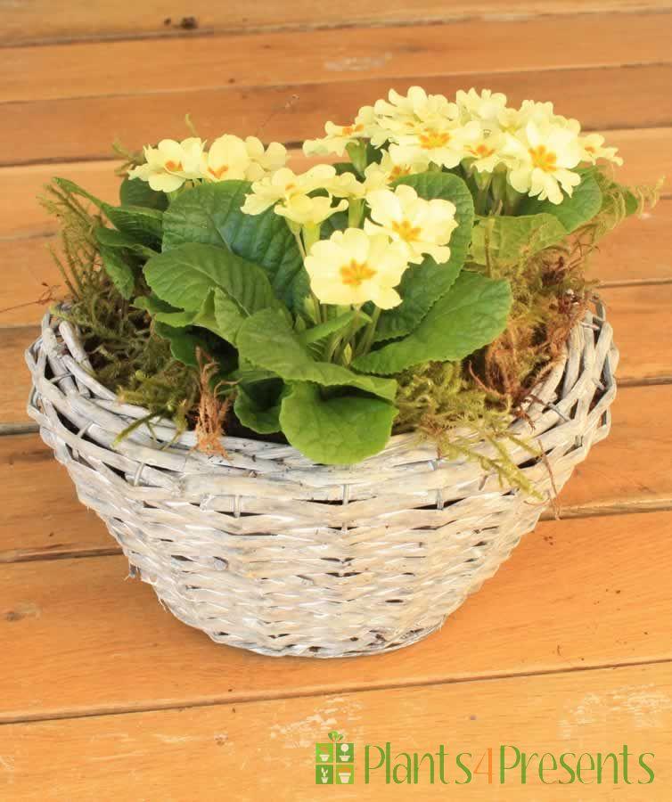 Primrose Planter
