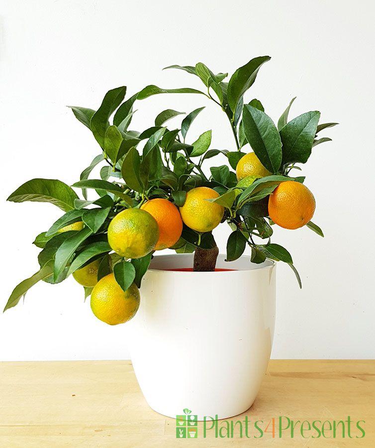 Red Lime (Rangpur)