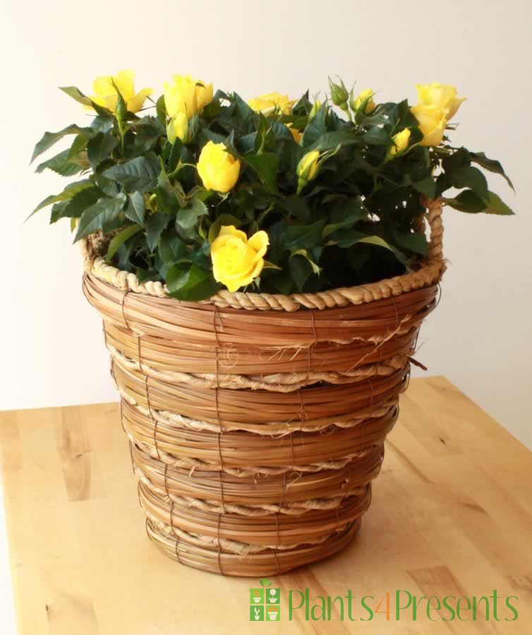 Large Pot of Yellow Roses