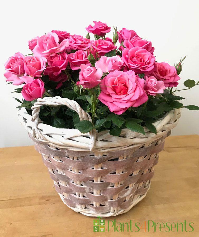 Pink Rose Basket 2021