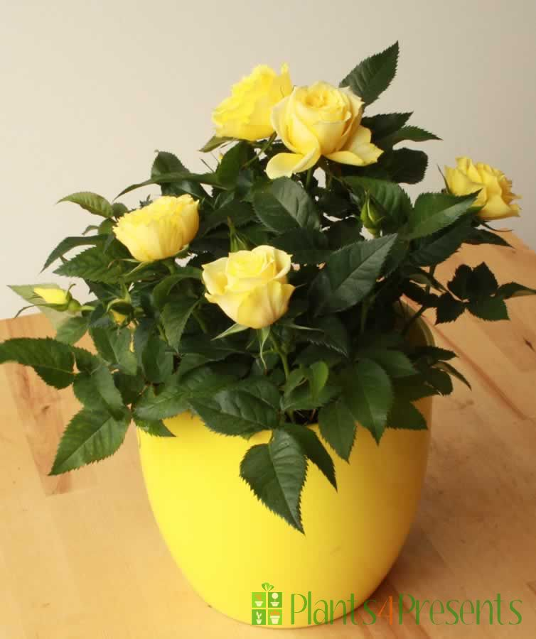 Yellow rose pot