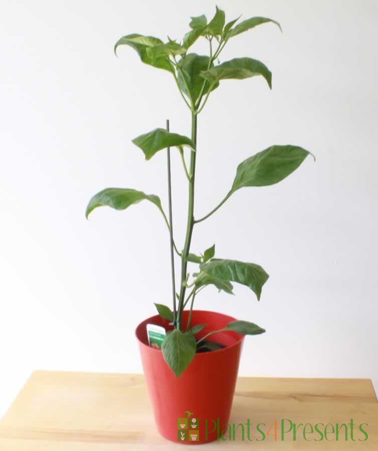 Scotch Bonnet Chilli Plant