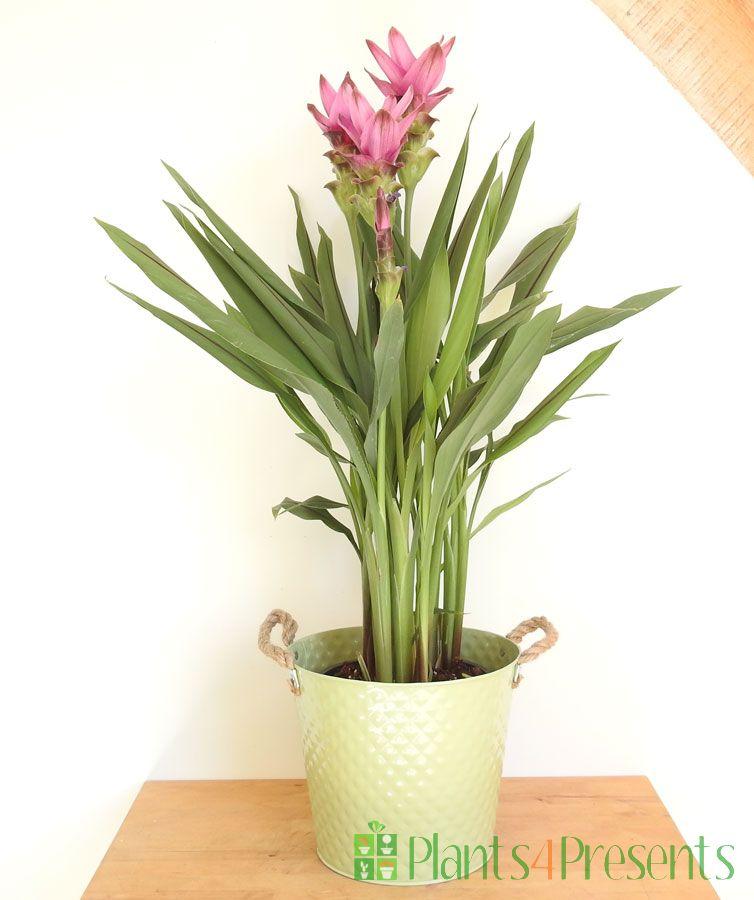 Siam Tulip 2020