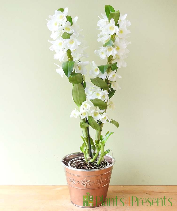 White Spray orchids delivered for Christmas